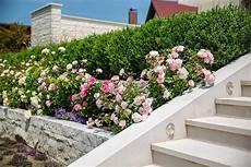 Büsche Pflanzen Sichtschutz - bl 252 hender blickfang schnellwachsende str 228 ucher galanet