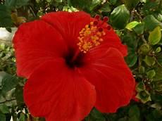 flor cayena del estado trujillo barranquilla en un blog barranquilla