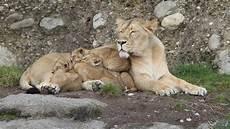 am zoo die vier l 246 wenbabys zoo z 252 rich