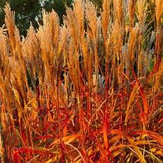 Miscanthus Indian Summer Pack Of Three Amazing Autumnal