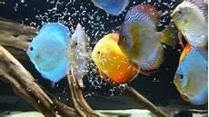vasca per discus i discus come allevare i pi 249 belli tra i pesci d acquario