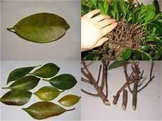 ficus benjamini verliert bl 228 tter pflanzenkrankheiten