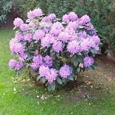 Rhododendron Sollten J 228 Hrlich Geschnitten Werden Um Ihre