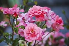 quand planter des arbustes quand planter ses rosiers ooreka
