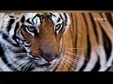 Perhilitan Siasat Gambar Viral Buru Harimau