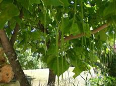 trompetenbaum catalpa bignonioides baumschule horstmann