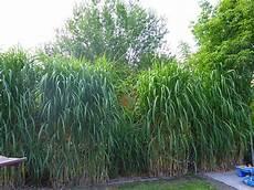hohe pflanzen als sichtschutz unser strebergarten schilfhecke
