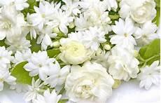 tuberose fiori cupe leggende sui fiori bianchi tuberosa gardenia e