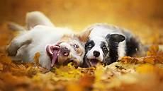 Fall Backgrounds Dogs animals depth of field fall wallpapers hd desktop