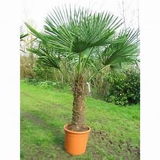 trachycarpus fortunei chusan palm windmill palm