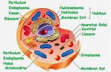 Organel Sel Hewan Beserta Fungsinya Definisi Pengertian