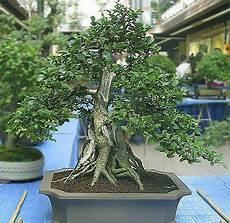 Ficus Ginseng Mister Blader Lage Bod Trapp
