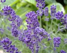 Lavender Plants For Sale Buy Lavender Plants Us