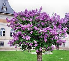 lilac tree free stock photo lilac tree common lilac free image