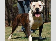 Molosser dogs   Home   Facebook
