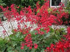 pflanze mit roten blüten purpurgl 246 ckchen staude heuchera sanguinea leuchtk 228 fer