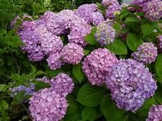 flat bottom flowers hydrangea heaven