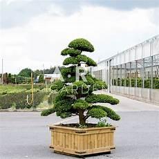 olivier nuage pas cher arbres nuages pas cher arbres nuage japonais bonsai