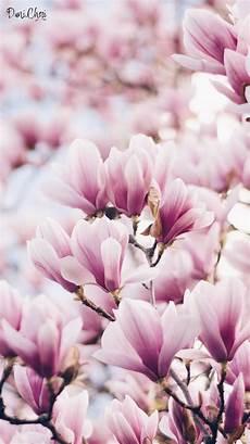 magnolia flower iphone wallpaper magnolia wallpaper pink mobile iphone magnolia mobile