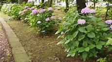 was passt zu hortensien japans fr 252 hsommerblume die 252 ppige hortensie japandigest