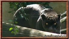 jaguar animal noir jaguar panthera onca