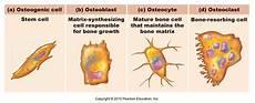 bone forming cells bones at south university studyblue
