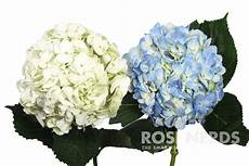 this box of wholesale mixed white blue hydranges is perfect for decorating a wedding or