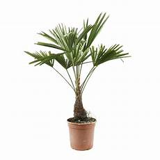 trachycarpus fortunei hauteur 40 60 cm pot d21 cm