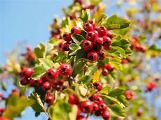 arbuste fruit free photo berries fruits free image on pixabay