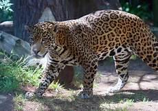 san jose s happy hollow zoo gets new jaguar kianto