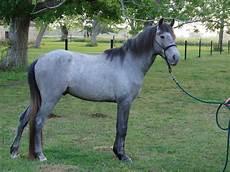 cavallo pomellato blue roan or grey page 2 the forum