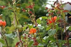 rosenbeet anlegen pflanzplan und begleitpflanzen