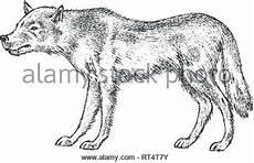 bouche d un loup la faune vector illustration