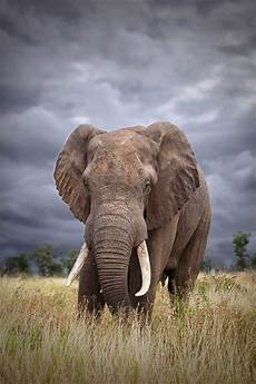 Elephant Hd Wallpaper For Mobile elephant phone wallpaper impremedia net