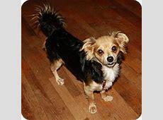 Minnie   Adopted Dog   Edmonton, AB   Sheltie, Shetland
