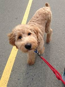 images puppy cut for a goldendoodle goldendoodle gave one of these cuties a bath today at work biggest sweet heart goldendoodle