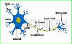 Struktur Jaringan Hewan Dan Beserta Fungsinya Dan