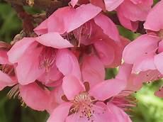 fiori di rosa fiori di pesco la finestra di stefania fiori rosa fiori di pesco la