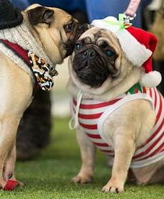 christmas pugfest pug pictures