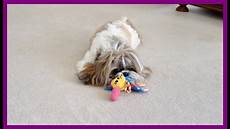 will lacey play lexi s lion cut shih tzu dog