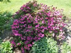 fiori azalee fiori piante e giardini mondo azalea pianta