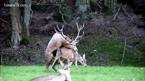 Fucking A Deer