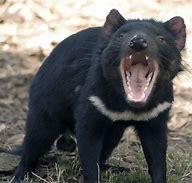Résultat d'image pour diable de tasmanie