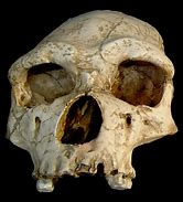Image result for homo erectus