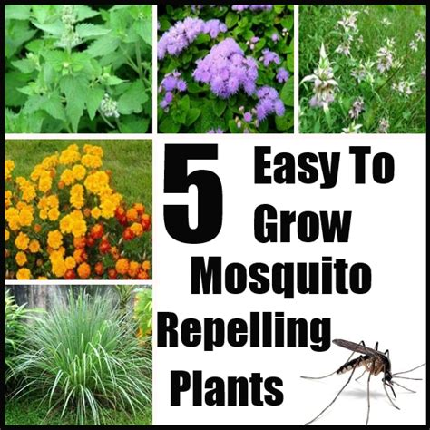 mosquito repelling shrubs 5 easy to grow mosquito repelling plants diy home life creative ideas for home garden