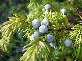 Image result for juniper