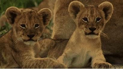 Fun Lion Lioness Shangralafamilyfun Cub Fox Those