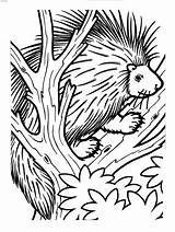 Porcupine Coloring Tree Anfibi Disegni Igel Baum Einem Printable Istrice Tiere Animal Animals Porcospino Disegno Animali Porcupines Drawing Results Malvorlage sketch template