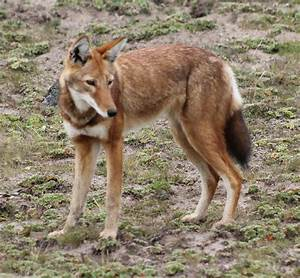 14 Rare Wild Dog Species That You Need To Know About (Photos)