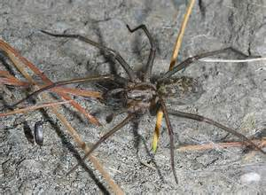 Giant House Spider Oregon